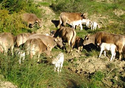 """Nuestro ganado, vacas de la raza autóctona """"parda de montaña"""", pasa más de seis meses al año en libertad, pastando en los montes de Aísa y alimentándose de forma natural al 100%."""