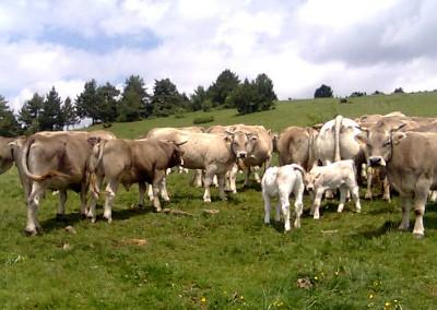 Ternera Valle de Aísa, carne de calidad