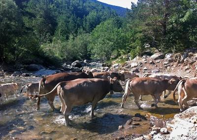 Al final de la primavera, nuestras vacas y terneros parten en trashumancia a las zonas altas del valle, en pleno Pirineo.